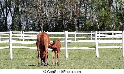 foal feeding with milk ranch scene