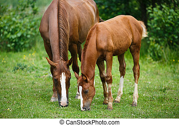 Foal horse with her mother on the meadow at summer time