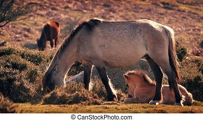 Foal Lying Next To Mother Grazing
