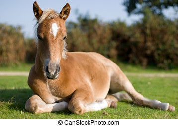 Foal, New Forest, England - Foal laying in pasture, New ...