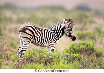 Plains Zebra (Equus quagga) - Foal of a Plains Zebra (Equus...