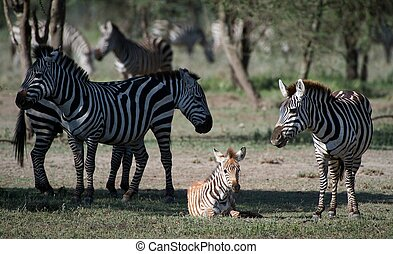 Foal of a zebra with mum.