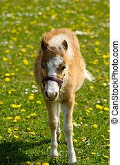 Foal on flower meadow