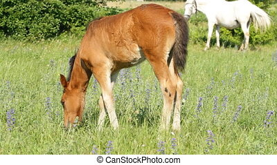 Foal pasture on the green meadow