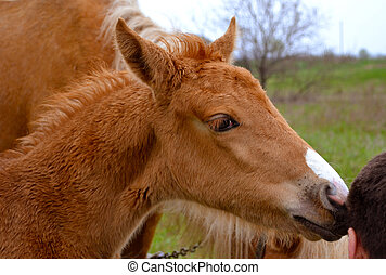 foal. Portrait of a foal of mini-horse
