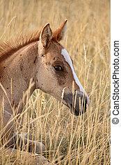 Foal resting in a Saskatchewan pasture