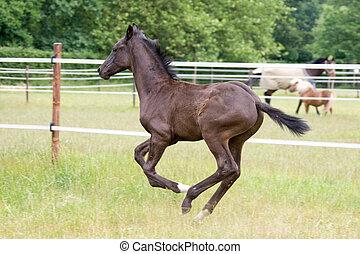 foal running - side view of a beautiful foal running free