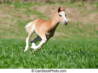 foal runs