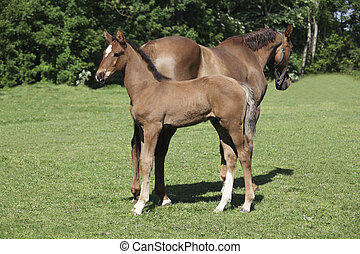 a brown foal standing next to his mother mare and looks