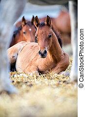 Foals lying on hay