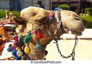 focinho, de, um, camelo, fim, cima.