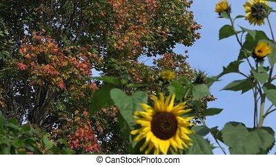 focus change from maple tree foliage to sunflower in garden. 4K