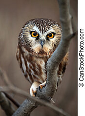 Closeup of a Northern Saw-Whet Owl staring directly at the camera.