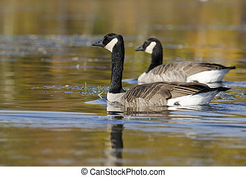 Focus on Foreground Goose - Two geese with the selective...
