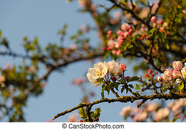 Focus on one pink apple tree flower