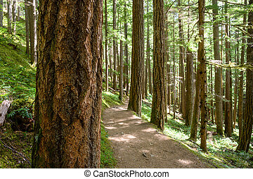 Focus on Pine Tree in Pacific Northwest Forest