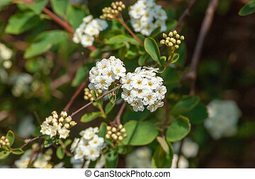 Focus on Small Group of Spiraea Flowers
