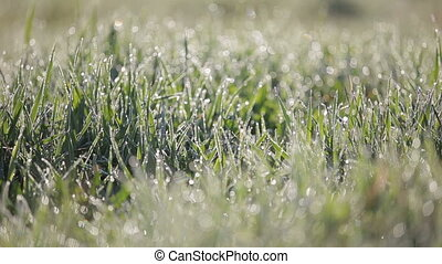 Focus Pan shot of green grass with lots of water droplets in the morning. Grass with dew drops sway in the wind.