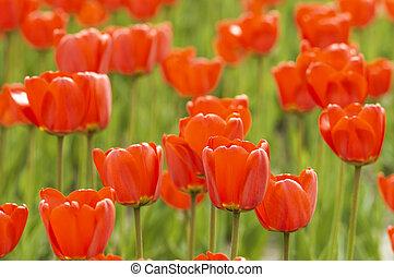 tulips - focus point on the nearest tulips on the center