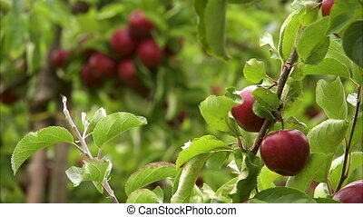 Focus shift from two apples to a bigger bunch - Focus shift...