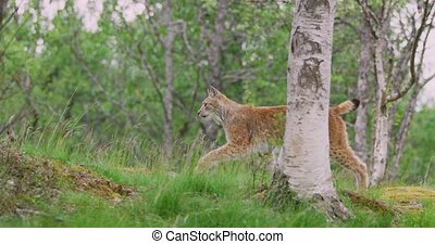 Focused european lynx running in the forest a summer evening...