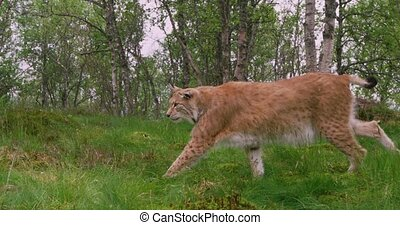 Focused old european lynx walking in the forest at summer -...