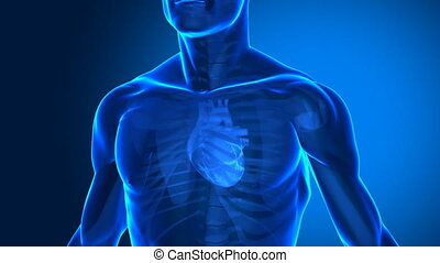 Focused on human heart  - human anatomy