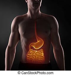 Focused on man digestive system