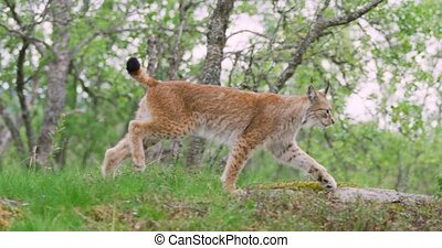 Focused young european lynx running in the forest a summer...