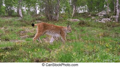 Focused young european lynx walking in the forest a summer...