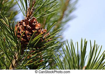 Nahaufnahme Zapfen einer Kiefer am Baum