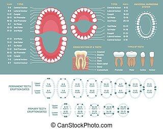 fog, anatómia, chart., fogszabályzó orvos, emberi fog, kár, ábra, fogászati, tervez, és, orthodontics, orvosi, vektor, infographic