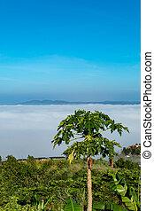 Fog and sun Morning Behind the tree papaya.