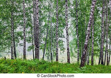 Fog in a birch grove