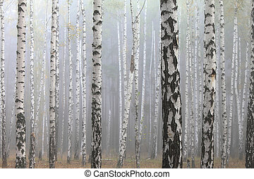 birch forest - Fog in birch forest