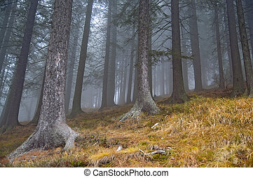 Fog in fir tree forrest