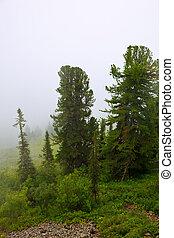 fog landscape - fog landscape with cedar forest. Altai,...