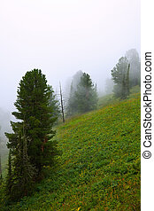fog landscape  with cedar forest. Altai, Siberia