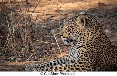 fogad fogad, kilátás, leopárd, arcél, vad