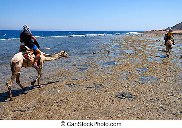 fogad kilátás, nomads, ólom, teve, elgáncsol, alatt, egyiptom