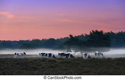 Foggy cows - Beautiful sunrise in National park 'De Hoge...