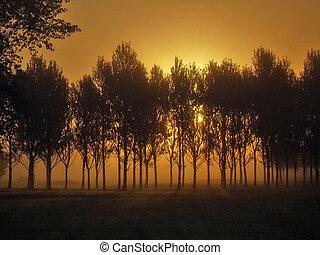 Foggy Dawn - Trees silhouetted against sunrise in dense fog
