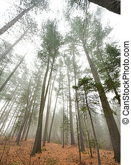 Foggy morning Coniferous forest.