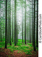 Foggy morning in piny forest with green grass and high tree trunks. Forests sunrise landscape with shining sunlight rays throw pine trees crowns.