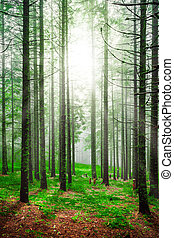 Foggy early morning in piny forest with green grass and high tree trunks forests matutinal sunrise landscape shining sunlight rays throw pine trees crowns