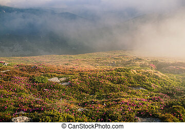 Foggy mountain landscape with blossoming rhododendron flowers