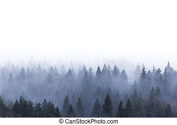 foggy pine forest in Burnaby Mountain park BC Canada