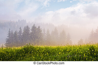 foggy sunrise in spruce forest