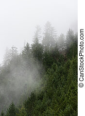 Foggy trees of the Pacific Northwest