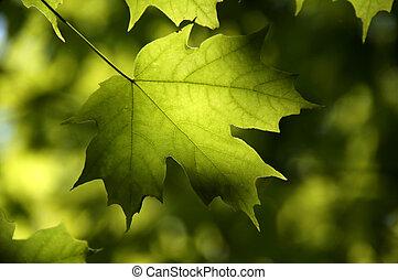 foglia acero verde